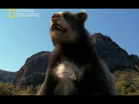 Depredadores prehistóricos (Oso cara corta)