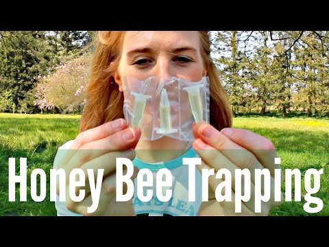 Honey Bee Trapping?!   How to use Lures and Attractants   Beekeeping with Maddie #10