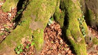 Beech Tree - Looking at moss-covered roots