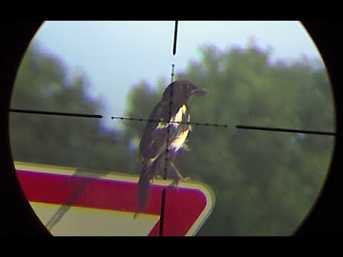 Air Rifle Hunting -- Magpies Pest Control video - part 1