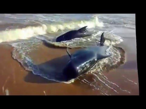 100 whales wash ashore Chennai and Tuticorin beach.