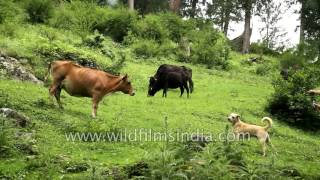 Dog barks at and chases off cows from lush green Himalayan monsoon meadow