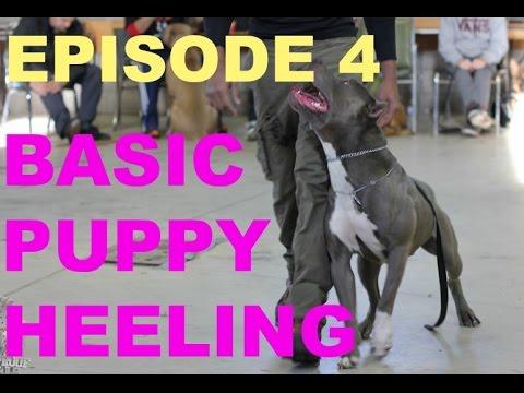 basic puppy heeling walking backwards leash pit bull pitbull training shepherd treat dog trained