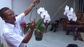 Để hoa lan Hồ điệp nở hoa quanh năm