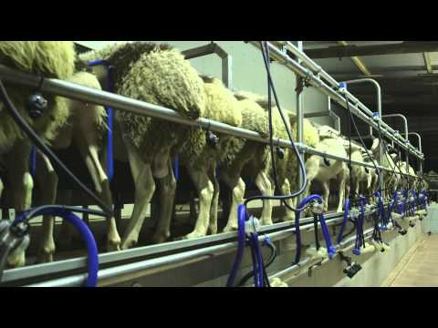 stainless steel milking parlor for sheep and goats