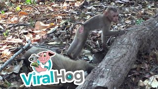 Baby Monkey Mourns The Loss Of His Mother || ViralHog