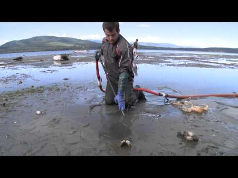 Farm raised Geoduck clams beach harvesting during low tide from Discovery Bay, Washington