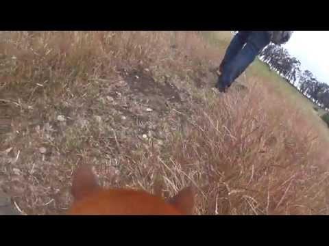 Sony Action Cam Dog Mount on Shiba Inu