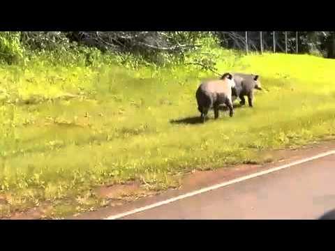 Tapires en acceso a Aeropuerto de Puerto Iguazu