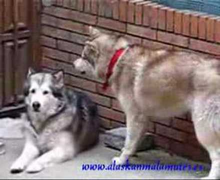 Siberian Husky Vs Alaskan Malamute: Dreamy provocando a Neto