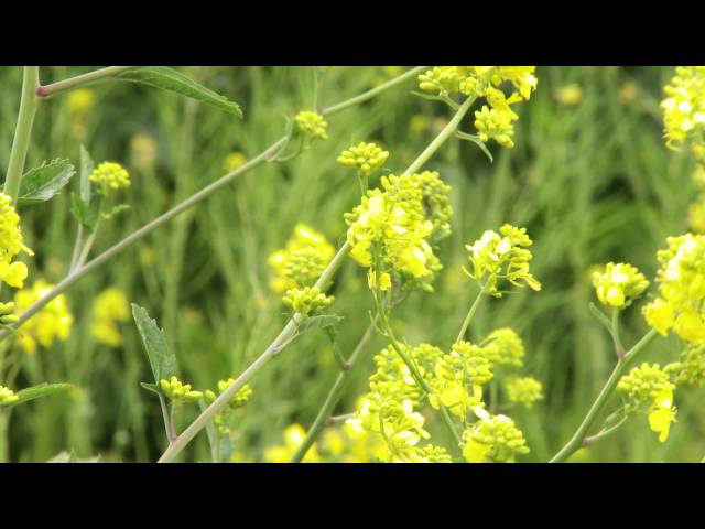 Wild Edibles With Sergei Boutenko: Wild Mustard