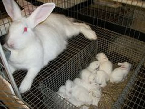 Rabbits -- A Predator Attacks the Rabbitry but We Must Press