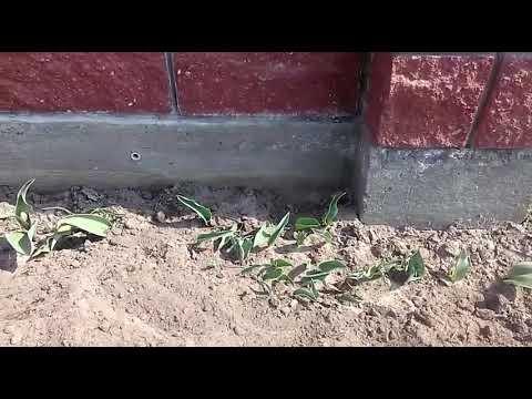 Пырей на огороде – как избавиться? Перечень эффективных способов