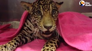 Baby Jaguar Hides The Saddest Secret Inside Her Body | The Dodo
