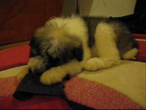 Mioritic puppy trying to stay awake- such a sweet dog! Romanian