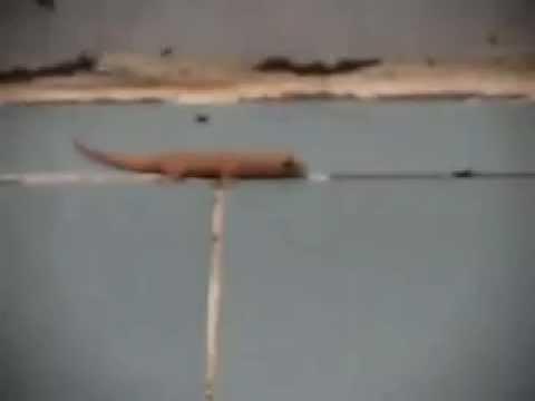 House Lizard Trap Butiki Lizard / House Lizard