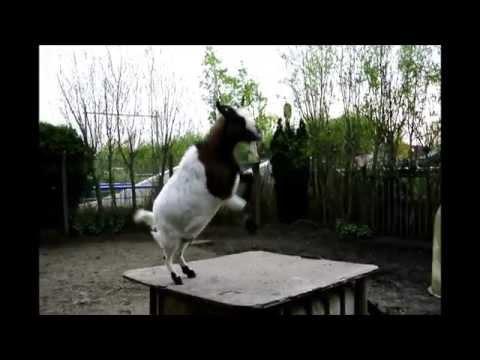 ヘディングならおまかせ♪ 身体能力が高いヤギ