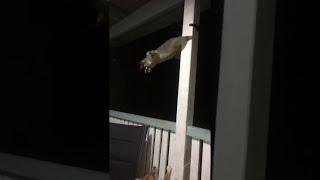 Possum Versus Puppy || ViralHog