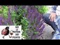 Tuto jardin: sauge nemorosa: Comment faire la culture et division:  Plante vivace