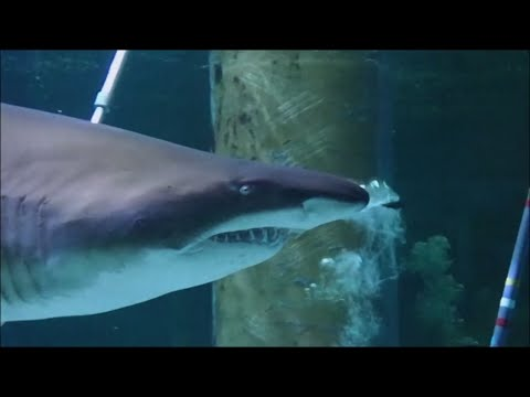 Sharks In Italy Revel In A Christmas Crèche
