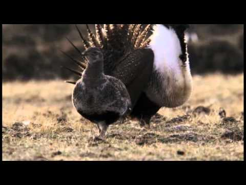 the-sage-grouse.html
