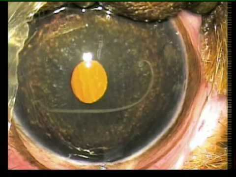 Angiostrongylus nematode worm in eye of puppy - surgical removal
