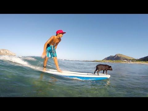 サーフィンをする豚で有名になった豚の子豚も波乗り上手♪