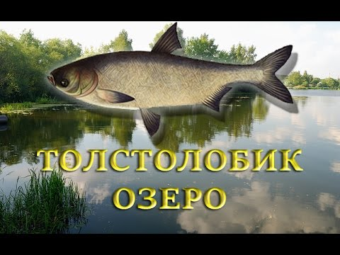 ловить толстолобика в озере