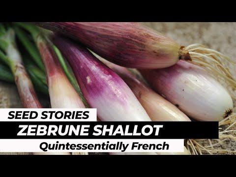 SEED STORIES   Zebrune Shallot: Quintessentially French!