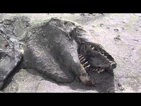 New Zealand Sea Monster carcass washes ashore