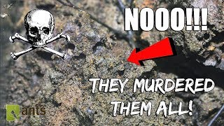 Pharaoh Ant Invaders Killed My Entire Colony - SAD EPISODE