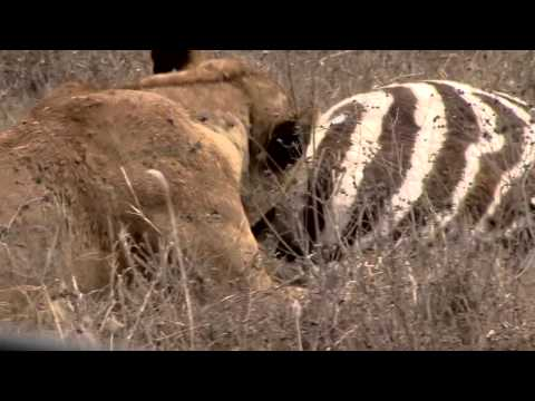 Lion Murders Zebra In Ngorongoro Crater Attack! video
