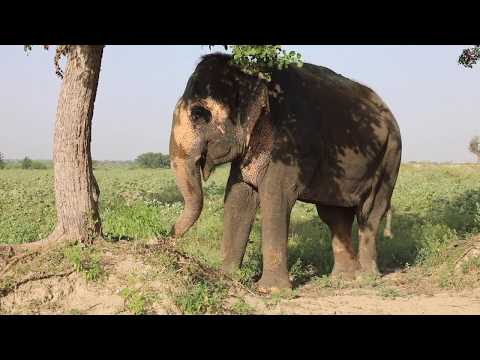 Saving Elephants from Abuse in India