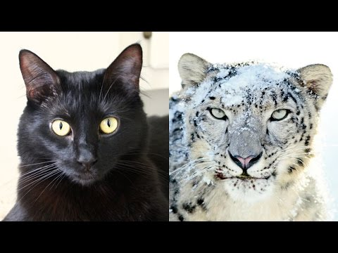 House Cats Helping Snow Leopards!