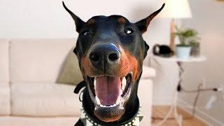 Funny Doberman Dog Compilation NEW