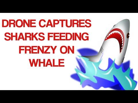 Drone Filmed Sharks in Crazy Feeding Frenzy On Whale: