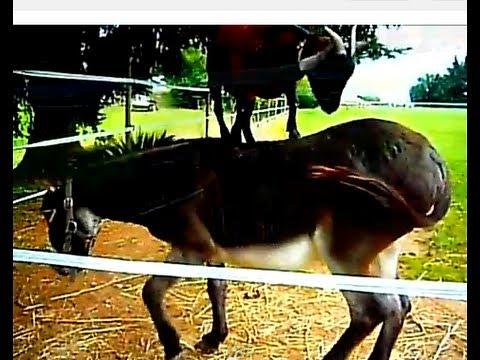 Animali divertentissimi, video – capra vs asino – scontro finale (da ridere)