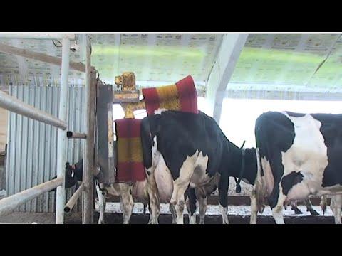 Если корову почесать, она даст больше молока