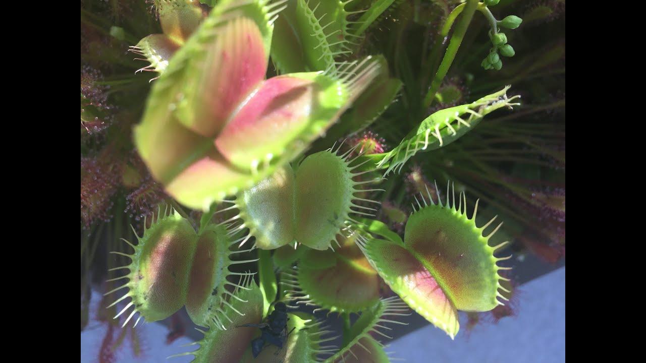 WINTER DORMANCY FOR SARRACENIA PITCHER PLANTS AND VENUS ...