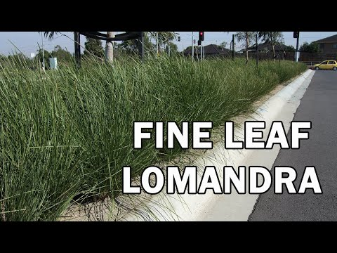 NYALLA® is a Lomandra with a grass tree look | Strappy Leaf Plants