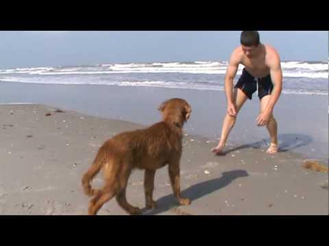 golden retriever puppies alabama. golden retriever puppy,