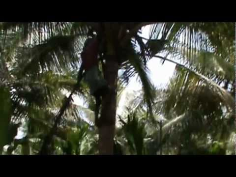 How to climb Coconut tree & A View from Coconut plantation.