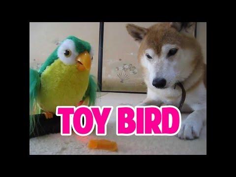 爆笑!ものまね上手なおもちゃのピーちゃんにあっさり従う柴犬ちゃめ