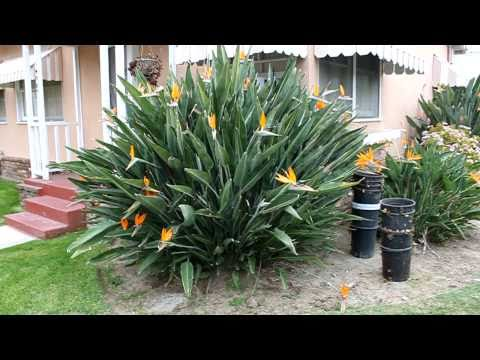 White bird of paradise plant