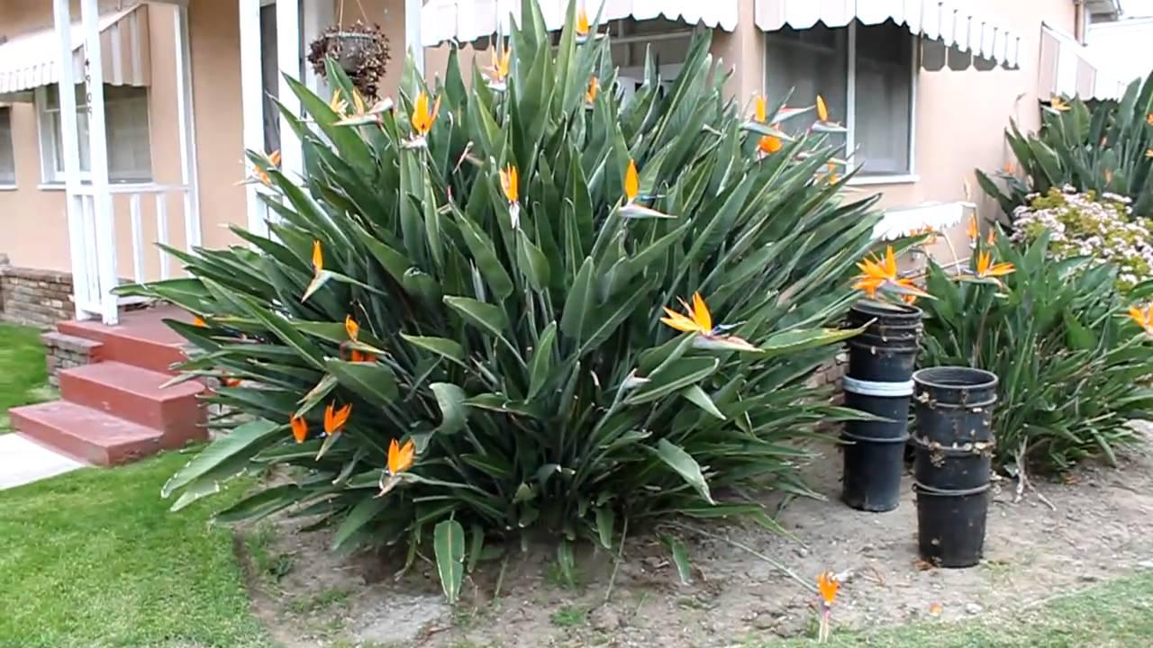 Birds Of Paradise Flowers Plant Youtube