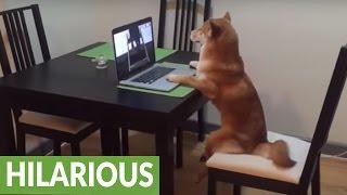 椅子に腰かけノートパソコンで動画を見る犬が人間のよう!
