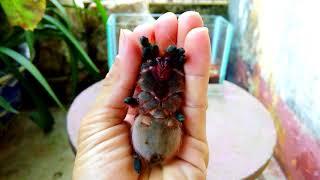 Cách cầm một con nhện an toàn (how to hold a tarantula)