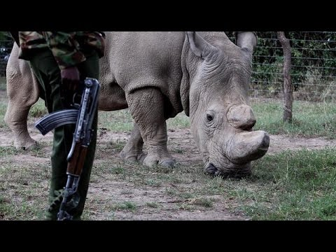 World's last three white rhinos protected in Kenya's conservation park