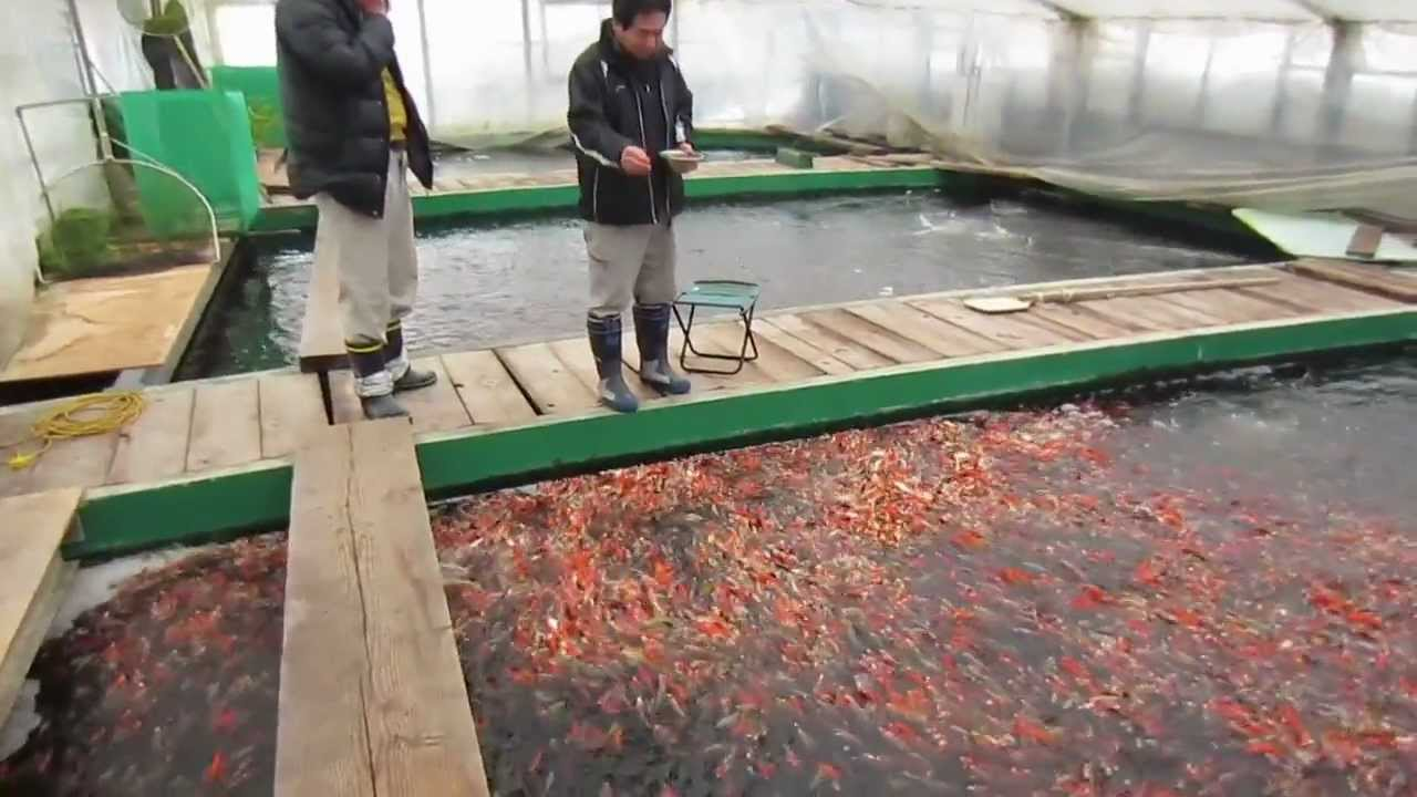 Niigata japan koi fish farm tour breeder otsuka koi for Koi fish farm