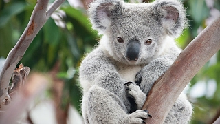 Cute Koalas Playing ? Funny Koala Bears [Funny Pets]